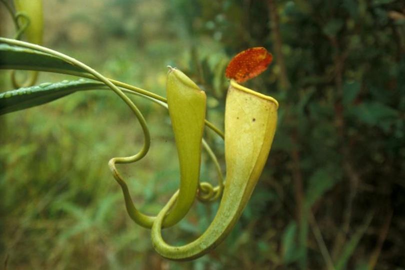 Непентес Мадагаскарский (Nepenthes Madagascariensis) фото