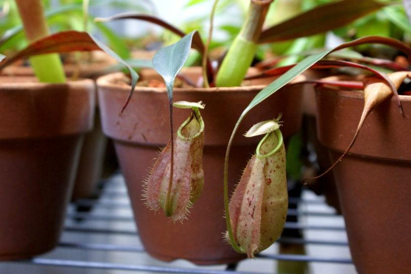 Непентес Раффлеза (Nepenthes Rafflesiana) фото