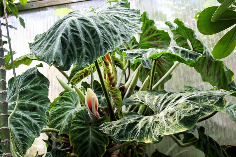 Филодендрон бородавчатый (Philodendron verrucosum) фото