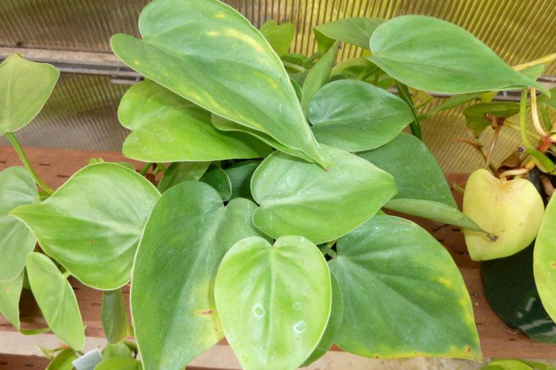 Филодендрон лазящий (Philodendron scandens) фото