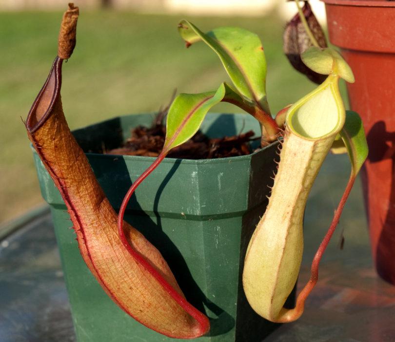 Непентес Крылатый или Алата (Nepenthes Alata) фото