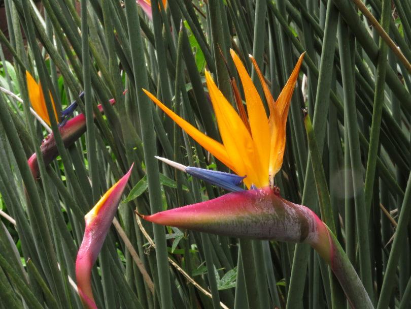 Стрелиция тростниковая (Strelitzia juncea) фото