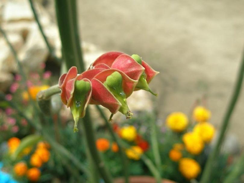 Педилантус Коалкоманенский (Pedilanthus Coalcomanensis) фото