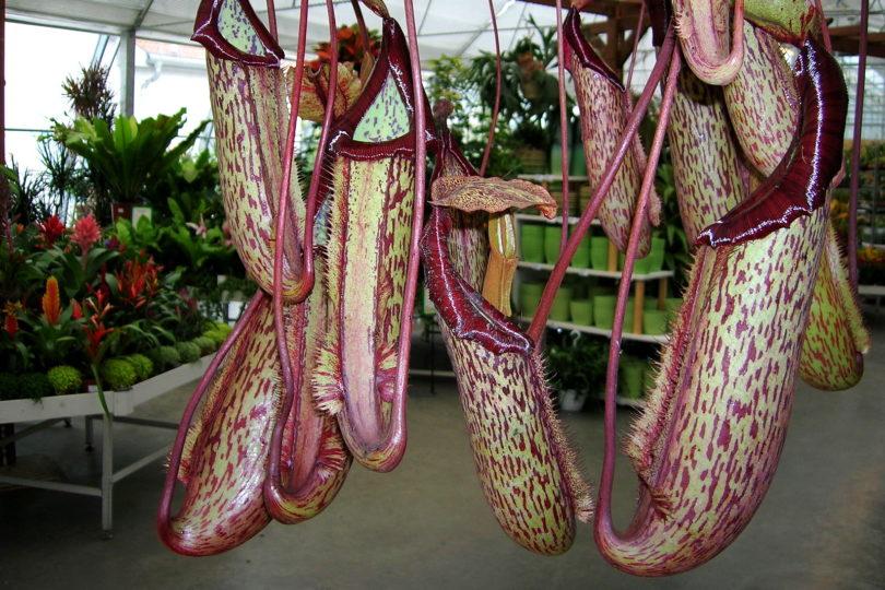 Непентес Миранда (Nepenthes Miranda) фото