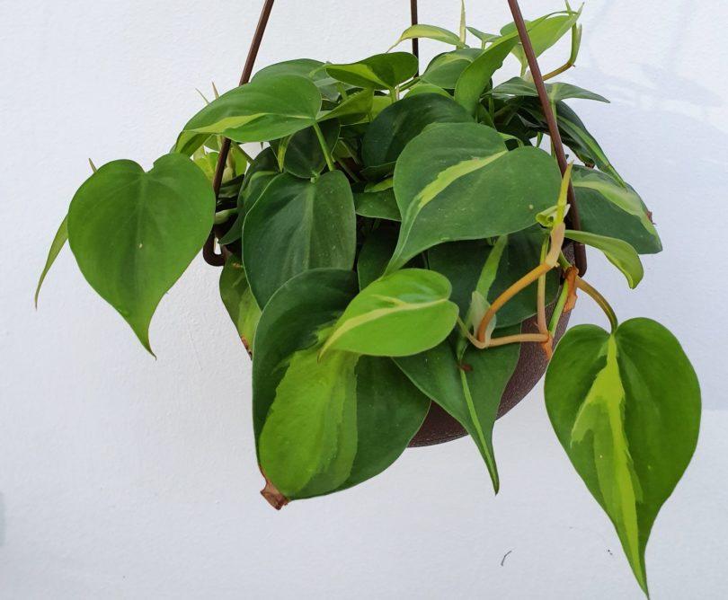 Филодендрон плющевидный (Philodendron hederaceum) фото