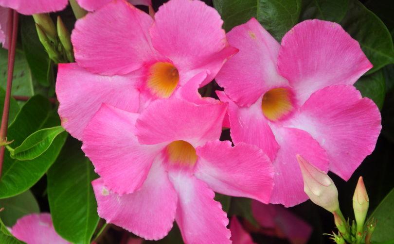 Дипладения блестящая (Dipladenia splendens) фото