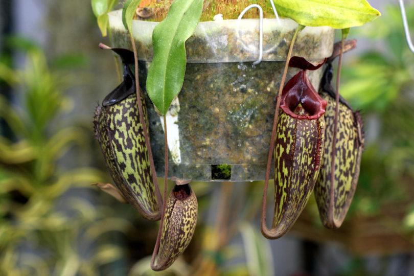 Непентес Большой (Nepenthes Maxima) фото