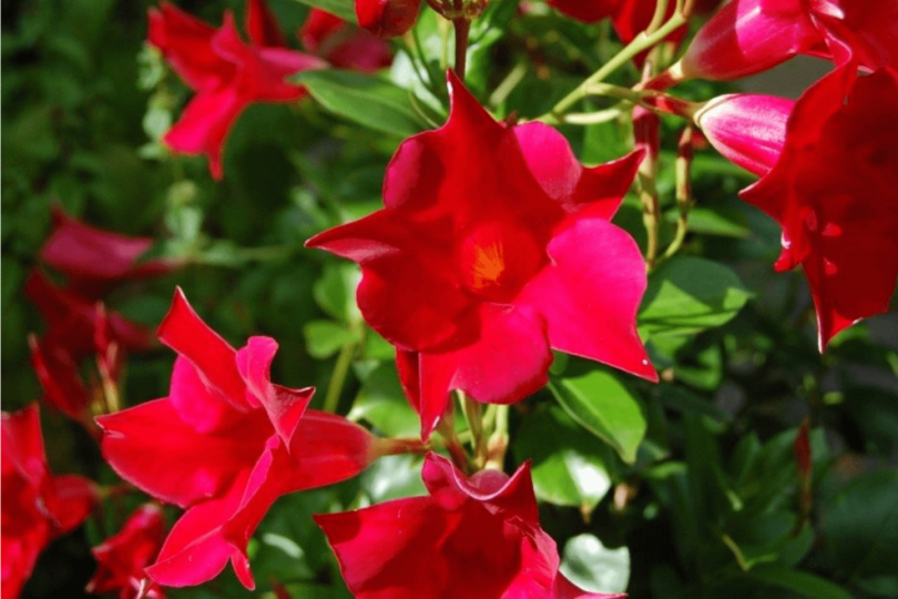 Мандевилла превосходная (Mandevilla eximia) фото