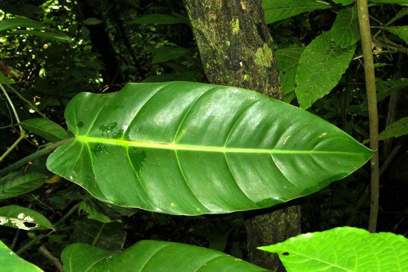 Филодендрон стрелолистный (Philodendron sagittifolium) фото