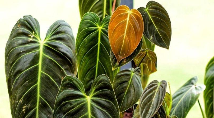 Филодендрон золотисто-черный (Philodendron melanochrysum) фото