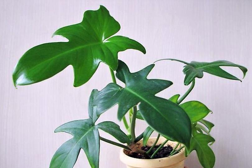 Филодендрон гитаровидный (Philodendron panduriforme) фото