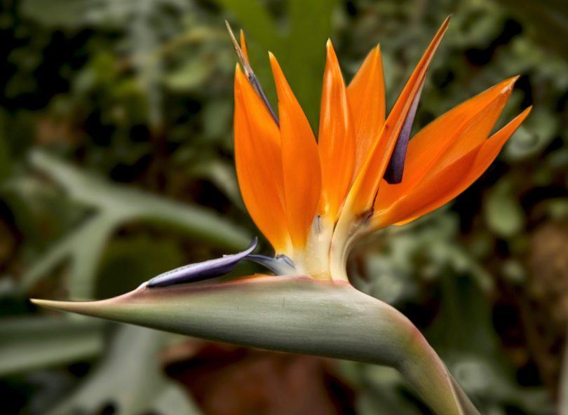 Стрелиция (райская птица) цветок уход в домашних условиях фото