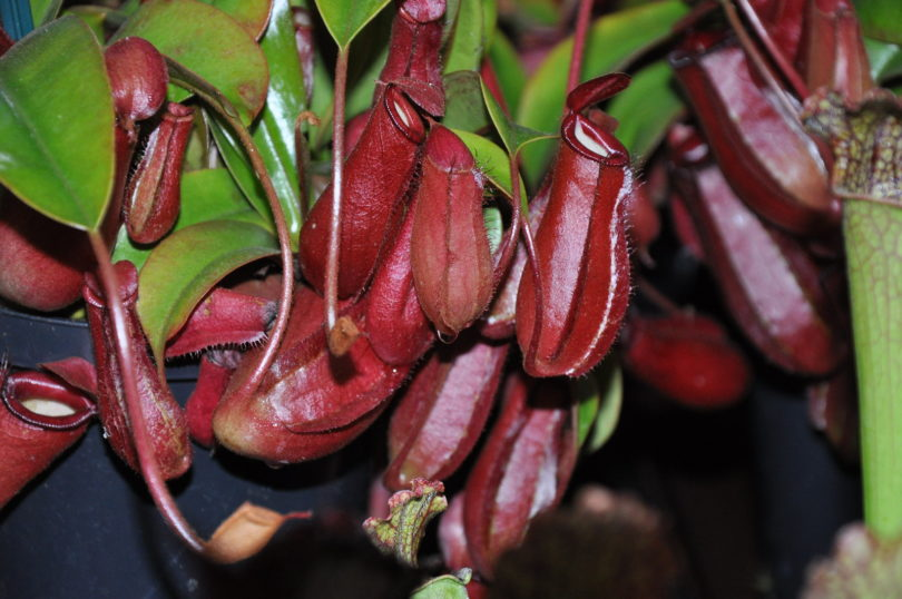 Непентес Кровавая Мэри (Nepenthes Bloody Mary) фото