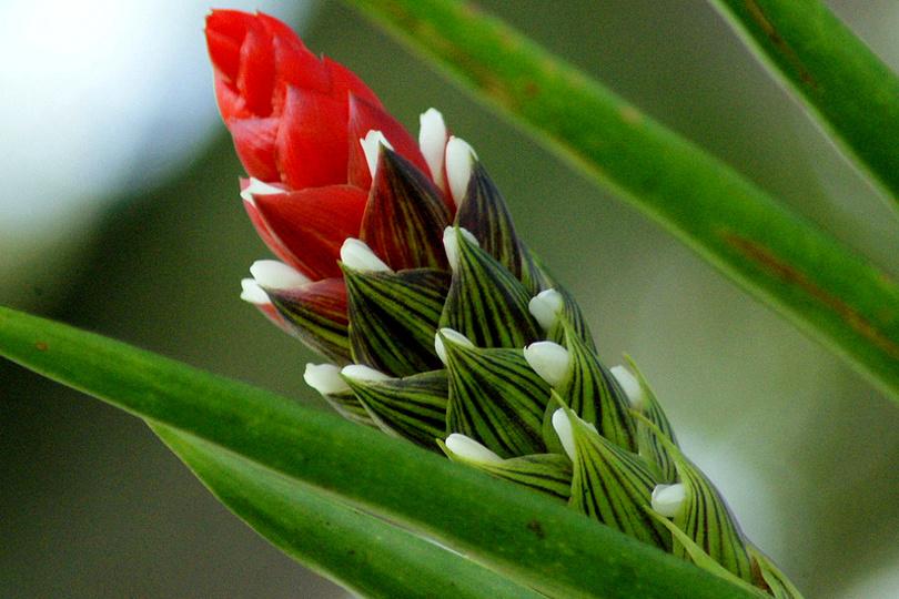 Гузмания одноколосая (Guzmania Monostachia) фото