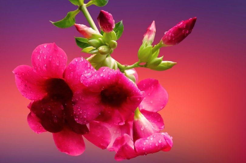 Цветение дипладении фото