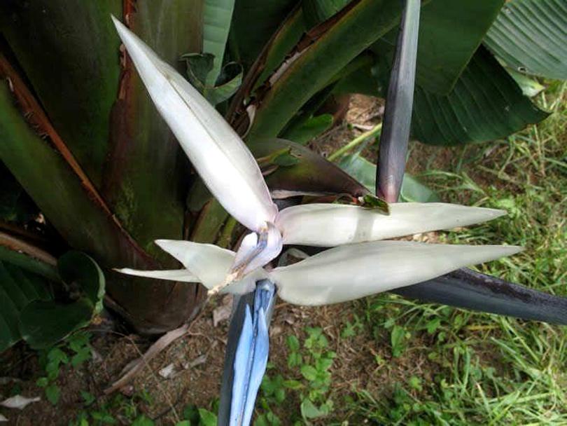 Стрелиция горная (Strelitzia caudata) фото