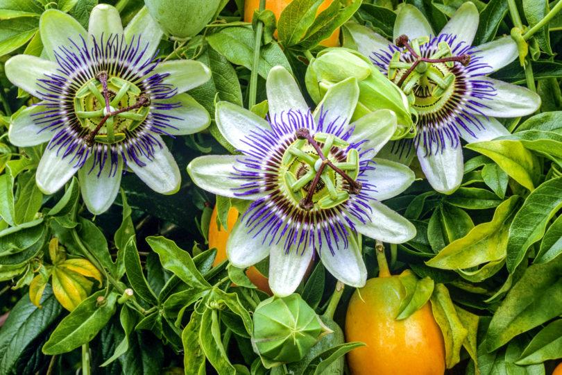 Пассифлора Королевская звезда (Passiflora Caerulea) фото
