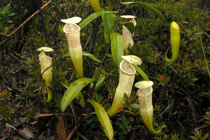 Непентес Грациозный (Nepenthes Gracillima) фото