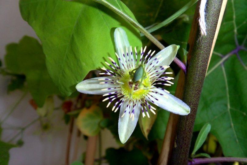 Пассифлора Грациевидная (Passiflora gracilis) фото