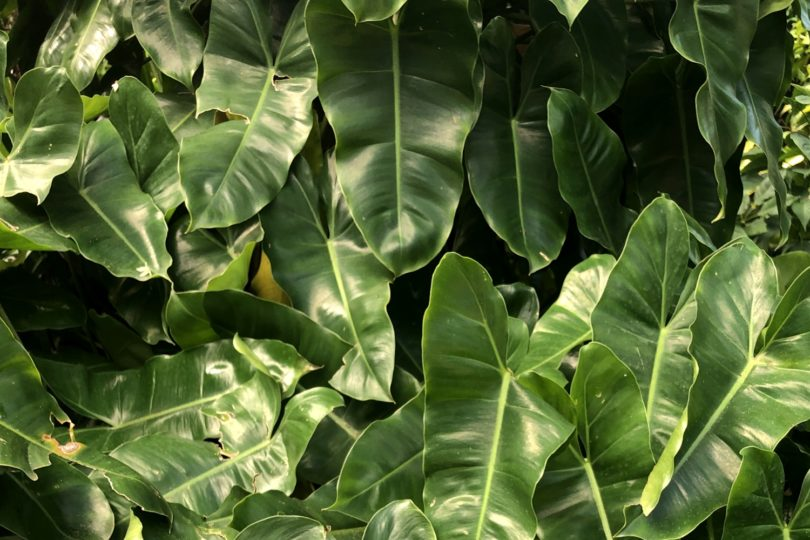 Филодендрон бурле маркс (Philodendron Burle Marx) фото
